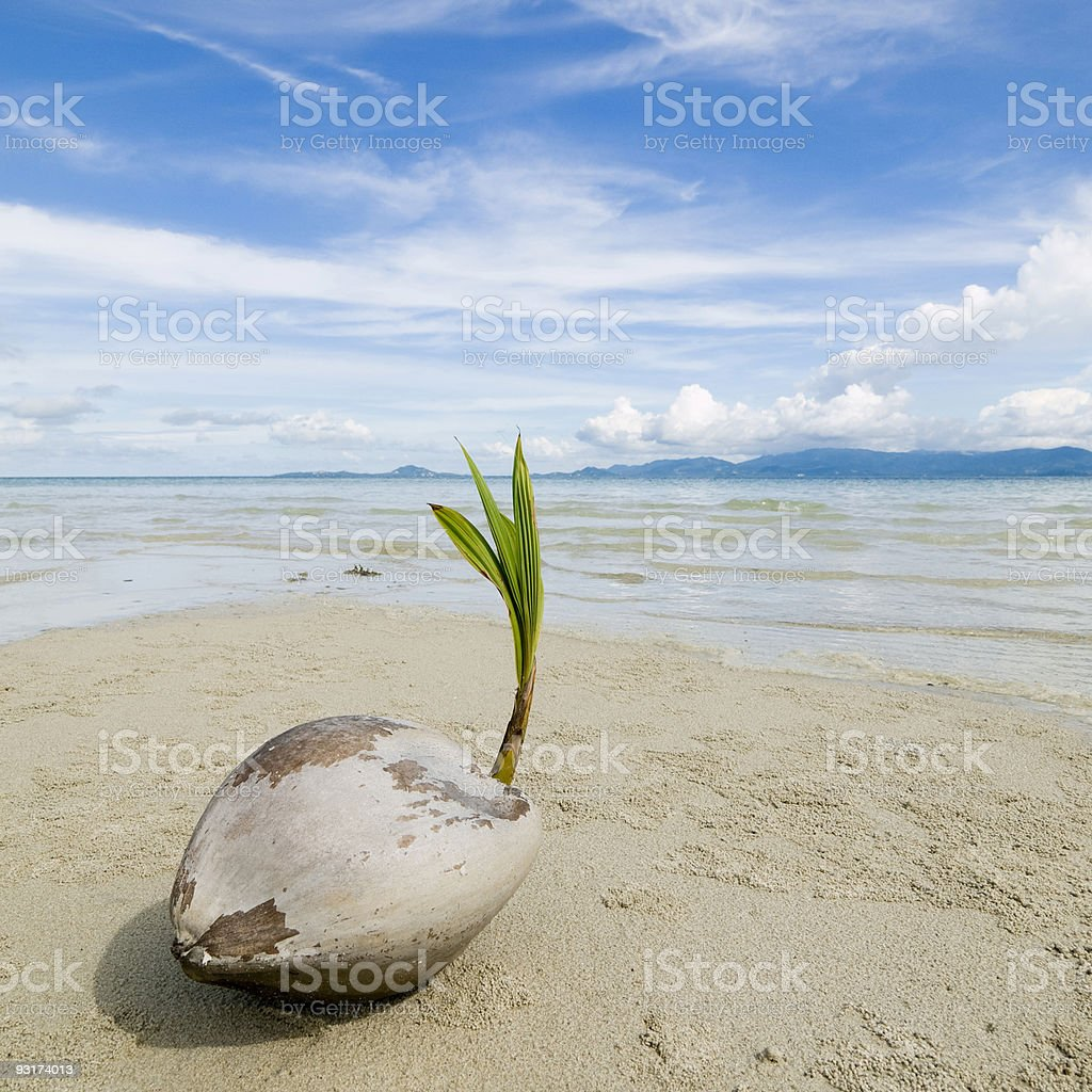 Coconut growth stock photo