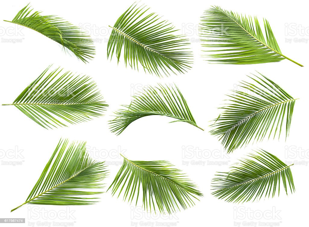 coconut leaf stock photo