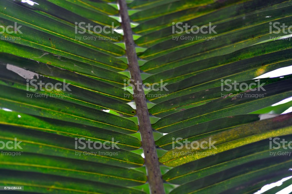 Coconut leaf royalty-free stock photo