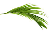 istock Coconut leaves or Coconut fronds, Green plam leaves, Tropical foliage isolated on white background with clipping path 1252837642