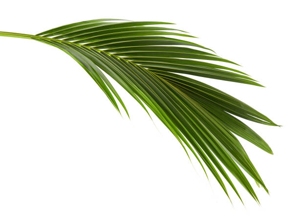 coconut leaves or coconut fronds, green plam leaves, tropical foliage isolated on white background with clipping path - leaf imagens e fotografias de stock