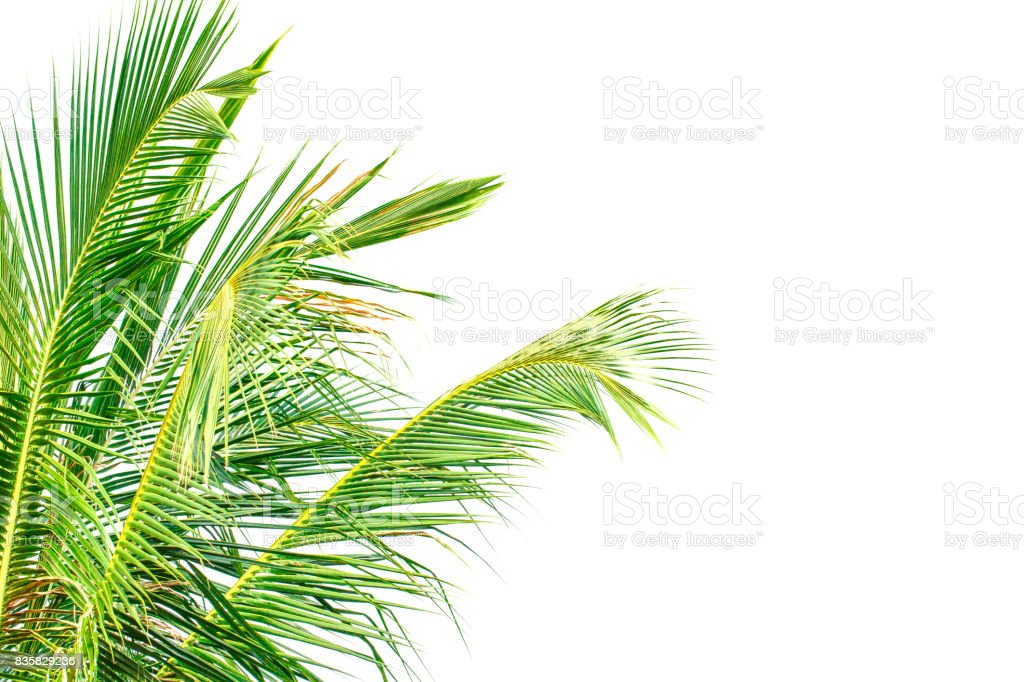 Coconut leaves white background stock photo