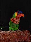 Potrait of coconut lorikeet bird standing in a wooden plank in the dark