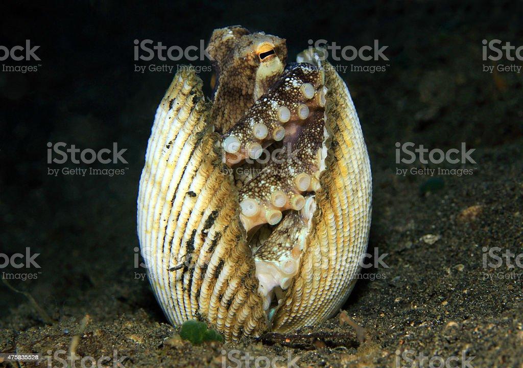 Coconut Octopus bildbanksfoto