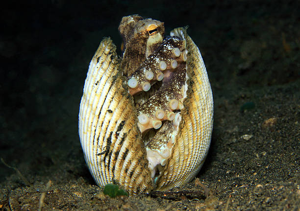 Coconut Octopus Coconut Octopus (Amphioctopus Marginatus) taking Shelter between Seashells, Lembeh Strait, Indonesia octopus photos stock pictures, royalty-free photos & images
