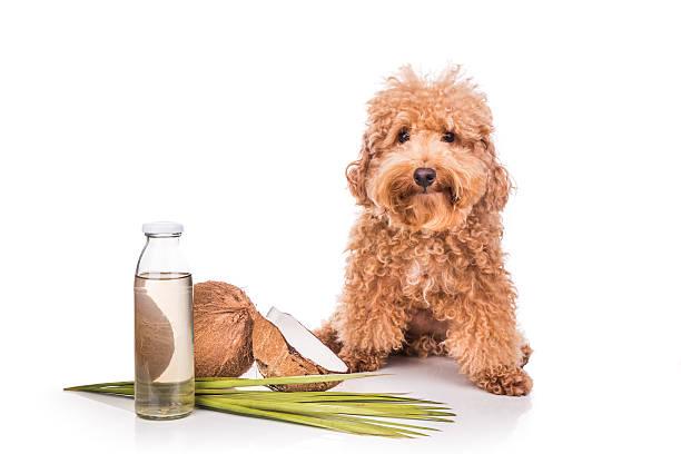kokosöl fette natürlichen zecken und flöhe wasserabweisende für haustiere - hundezubehör diy stock-fotos und bilder