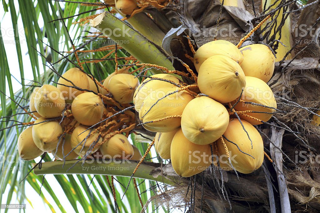 Coconut on a palm tree royalty-free stock photo
