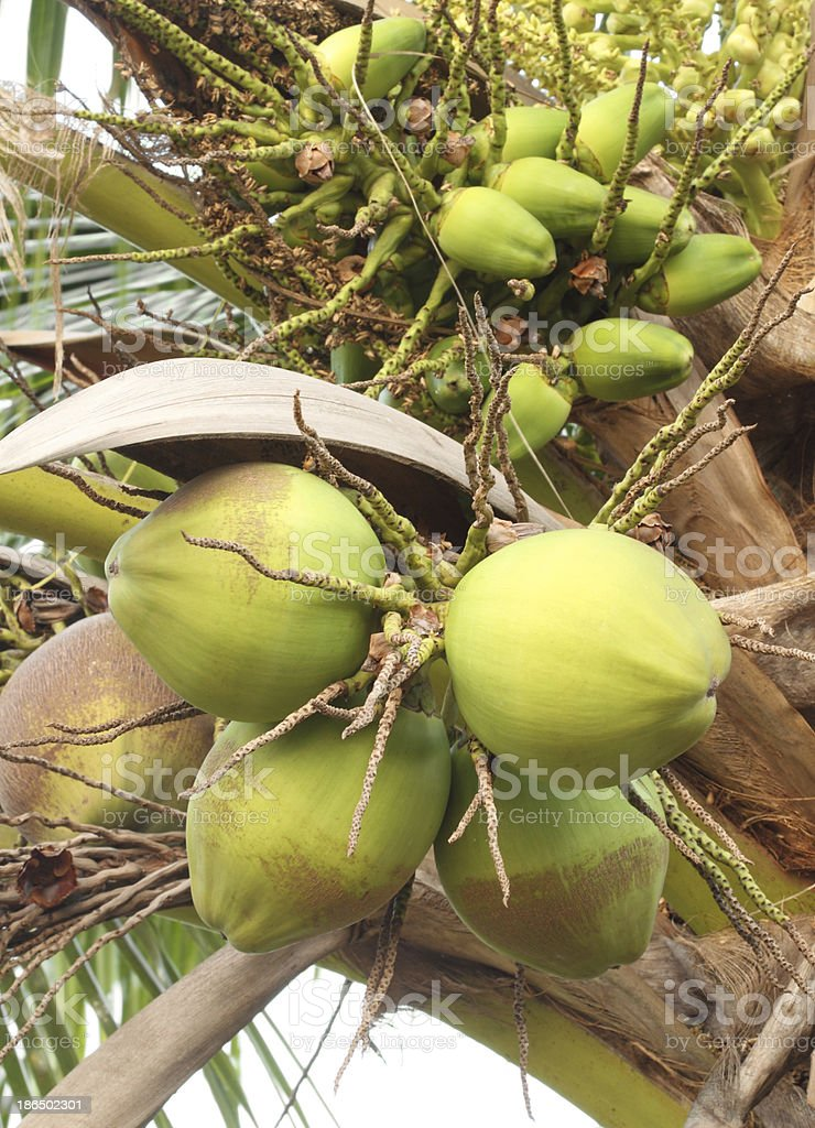coconut on the tree royalty-free stock photo