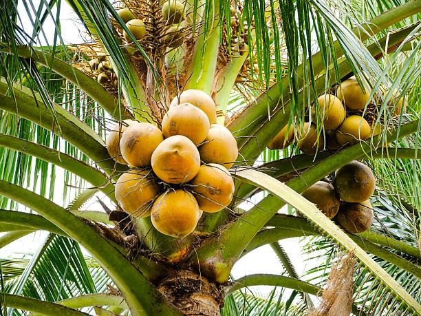 Coconut on tree stock photo