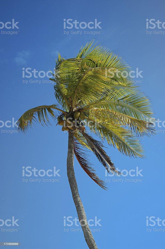 coconut palm y cielo azul foto de stock libre de derechos