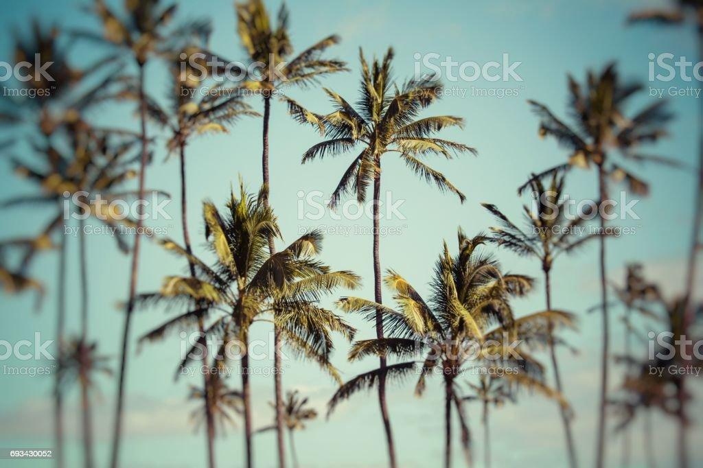 Coconut palm in Hawaii, USA. stock photo