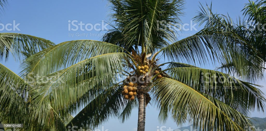 Coconut palm in the tropical garden, Nha Trang, Vietnam стоковое фото