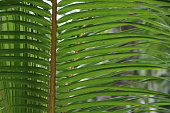 Coconut Palm Tree Leaves on Praslin Island, Seychelles during a rainy day.