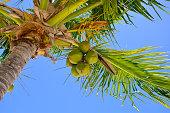 Looking Up at Coconuts