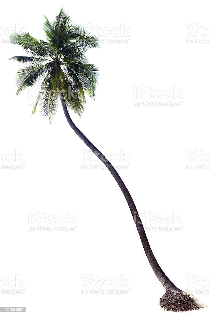 Coconut Palm Stock Photo & More Pictures of Beach | iStock