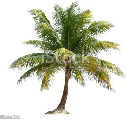 A coconut palm tree isolated against white.