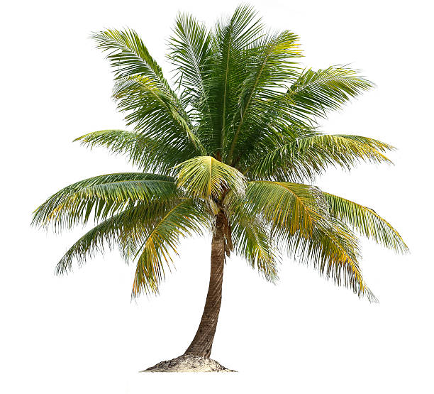 Coconut palm picture id460770437?b=1&k=6&m=460770437&s=612x612&w=0&h=hf8bovgyrliosksr rldrpiclcgxgbjrwd6xltou3xg=