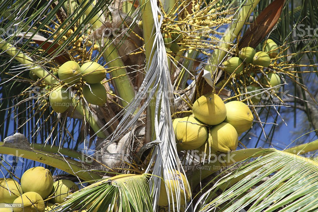 Coconut palm royalty-free stock photo