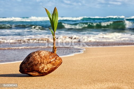 Photo of a cocunut palm tree seedling sprouting from a seed (coconut) on a Hawaiian beach.