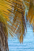 The coconut tree (Cocos nucifera) is a member of the family Arecaceae (palm family) and the only species of the genus Cocos