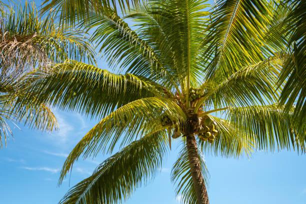 Kokospalme und klarer blauer Himmel – Foto