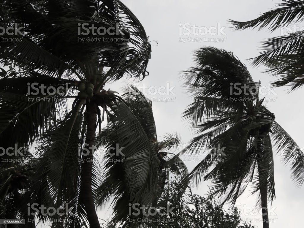 Coconut palm tree blowing in the winds before heavy hurricane. Low...