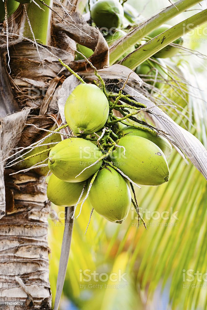Coconut Palm Tree Close-Up royalty-free stock photo