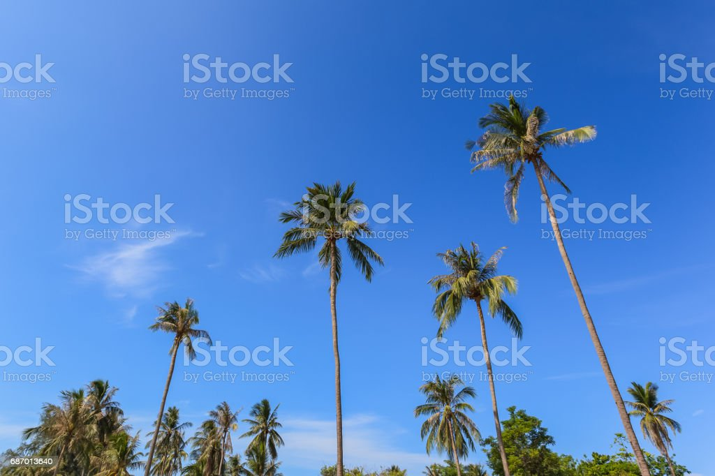 coconut palm tree group with blue sky background, as summer theme Lizenzfreies stock-foto