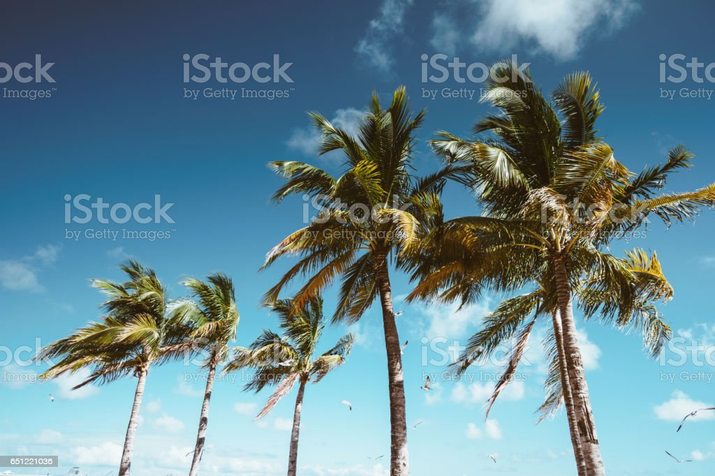 coconut palm tree in florida stock photo