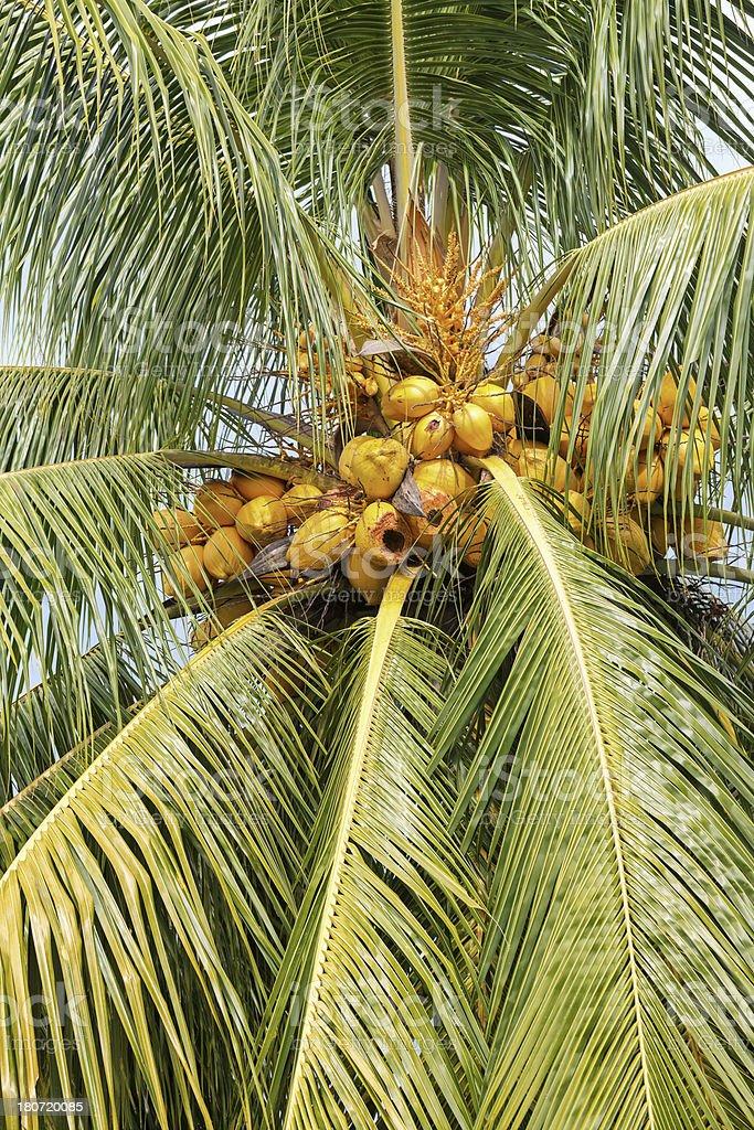 Coconut palm tree in the tropics royalty-free stock photo