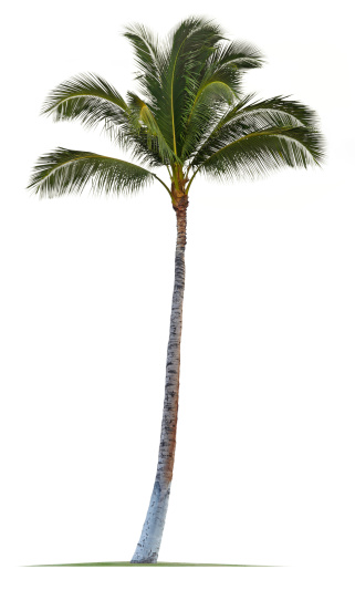 A palm tree isolated against white.Please see some similar pictures from my portfolio: