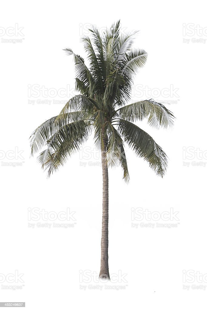 Coconut palm tree isolated on white background royalty-free stock photo