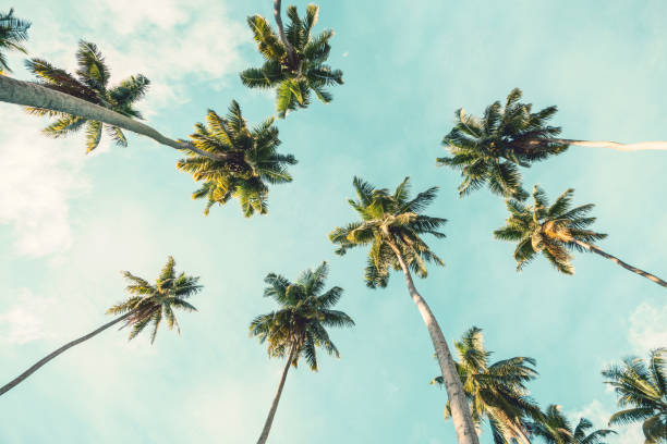 Coconut palm tree on sky background.   Low Angle View. Toned image stock photo