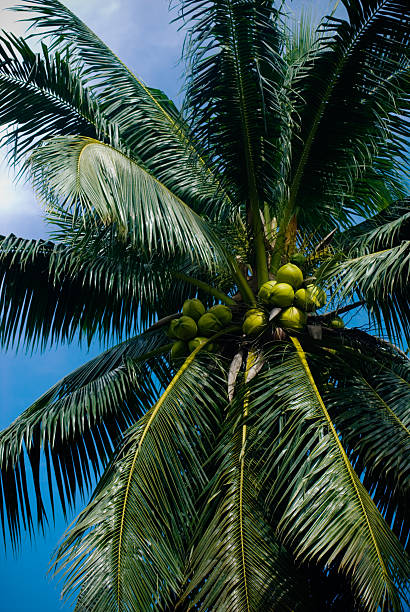 Coconut Palm Tree stock photo