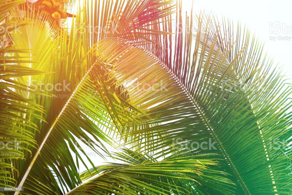 coconut palm tree – Foto