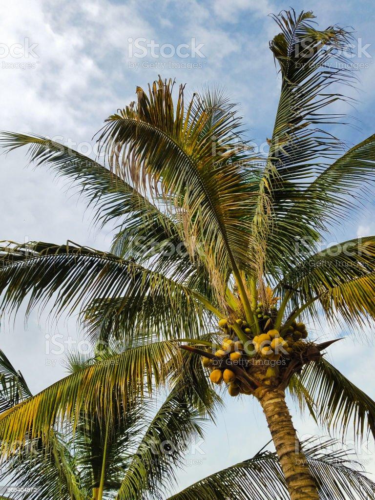 Coconut Palm Tree royalty-free stock photo
