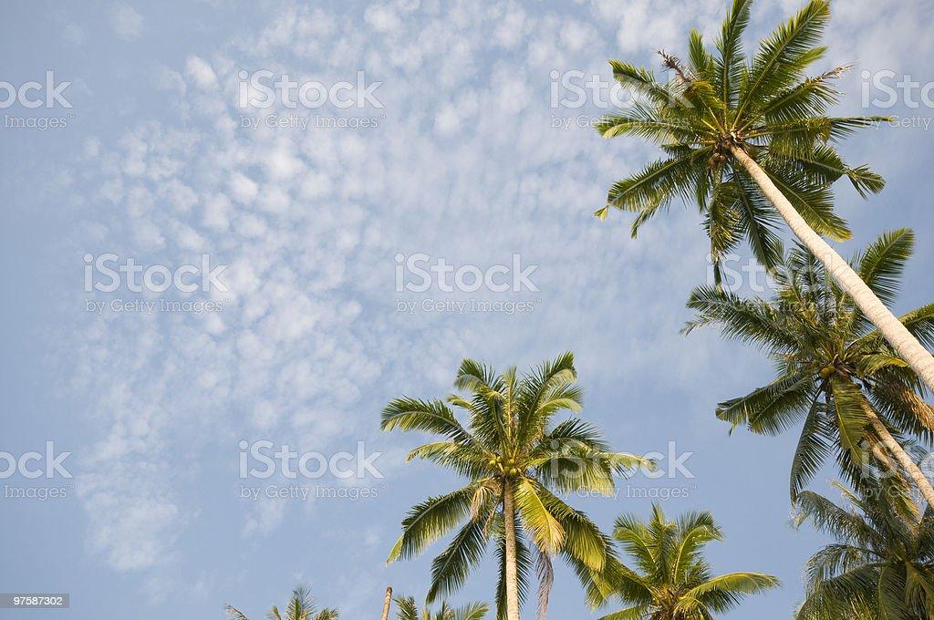 coconut palm tree royaltyfri bildbanksbilder