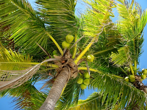 Coconut palm tree top with green coconuts against blue sky