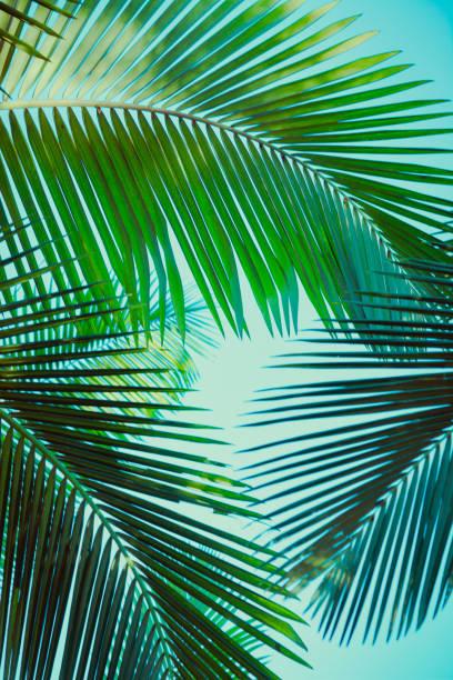 kokospalmer under blå himmel. vintage bakgrund. retro tonad affisch. - palm bildbanksfoton och bilder