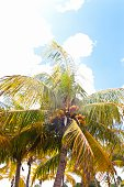 Coconut palm tree with many coconuts against cloudy blue sky.