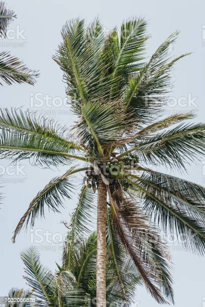 Coconut palm trees against blue sky.