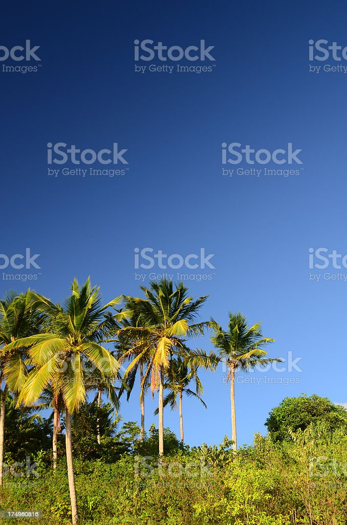 coconut palm trees and blue sky royalty-free stock photo