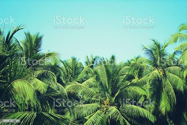 Coconut palm trees at tropical beach vintage filter picture id589092794?b=1&k=6&m=589092794&s=612x612&h=8yhtcyfqh0n13krp3mr xkxbo rgswg8gjlzi ukjoc=