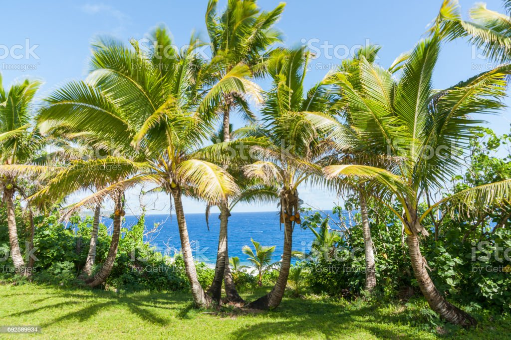 Coconut palm trees in tropical Niue stock photo