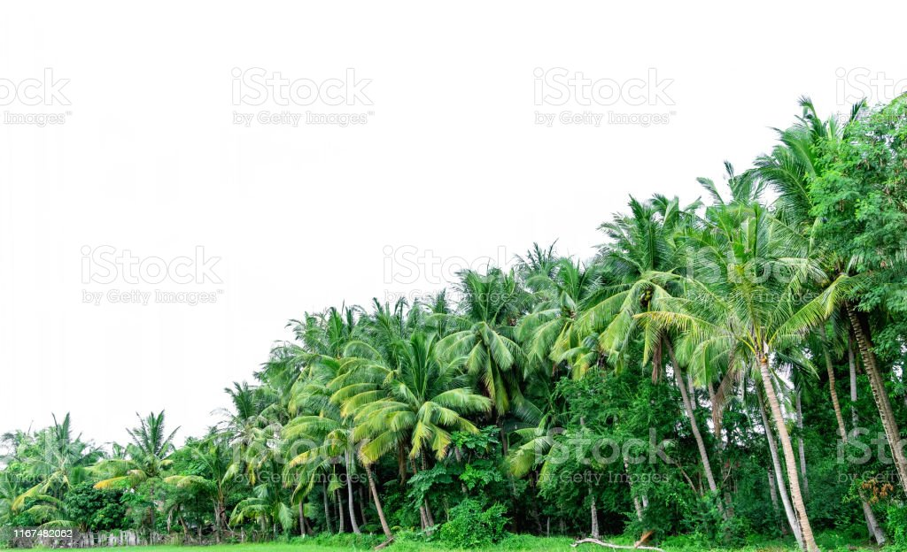 Coconut palm trees isolated on a white background, Tropical coconut...