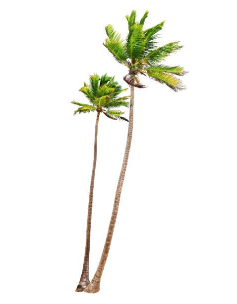 Coconut palm Bäume Isoliert – Foto