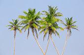 Coconut palm trees on the tropical beach is a bizarre shape against the blue sky, Thailand