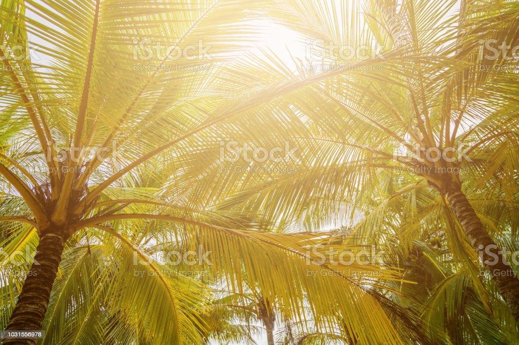 Tropical palm tree with sun light on sunset sky.