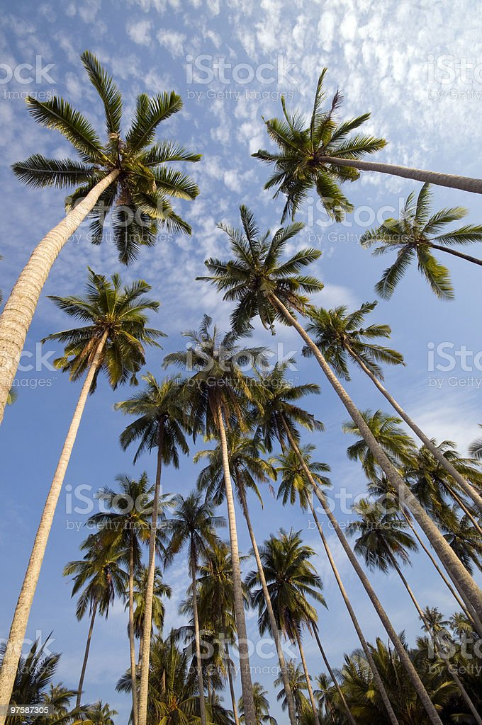 Coconut palm trees royalty-free stock photo