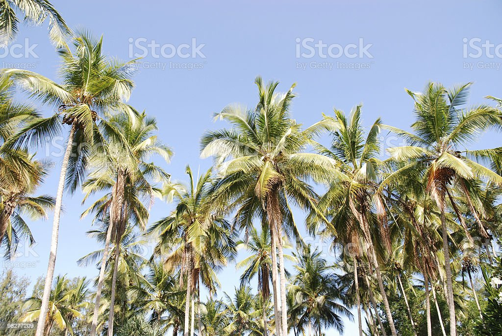 Coconut palm trees royalty-free stock photo